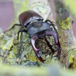 stag-beetle-1572689_1920